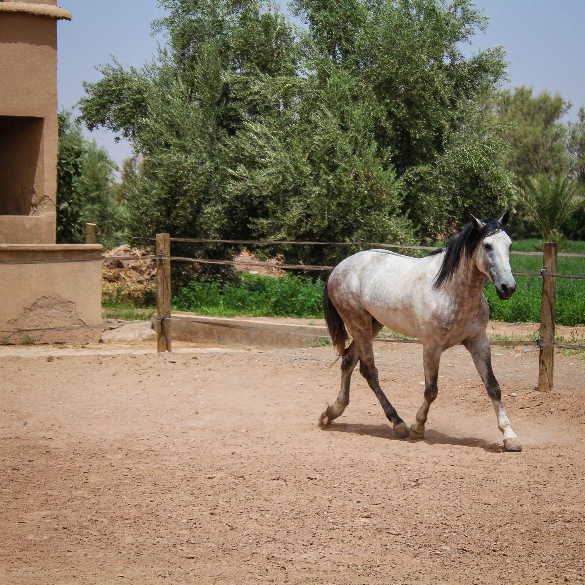 Rahil, 6ans, entier pour des cavaliers moyen nivea, porteur.