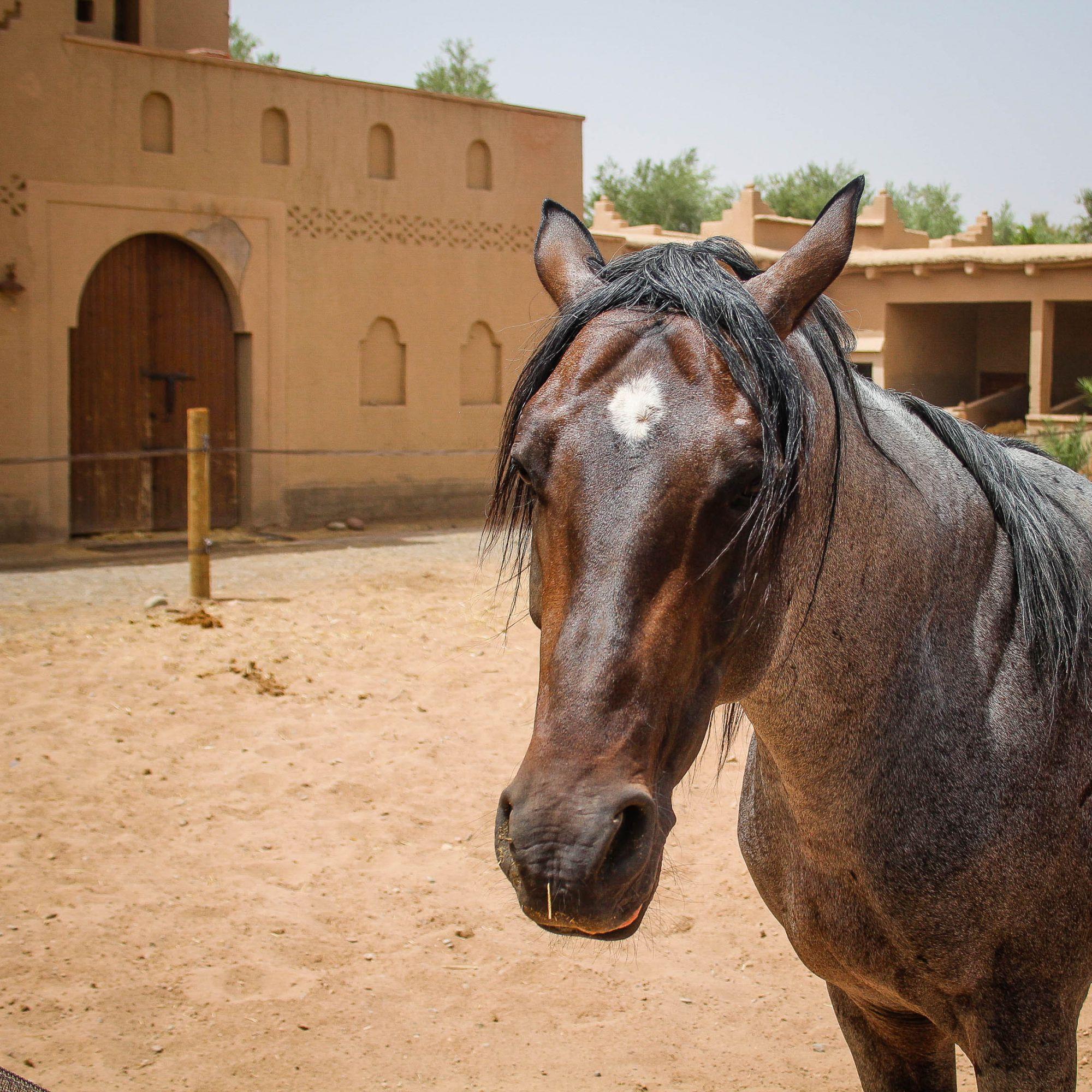 Sarab, 9ans, entier pour des cavaliers confirmés, porteur et chevaux de tête.