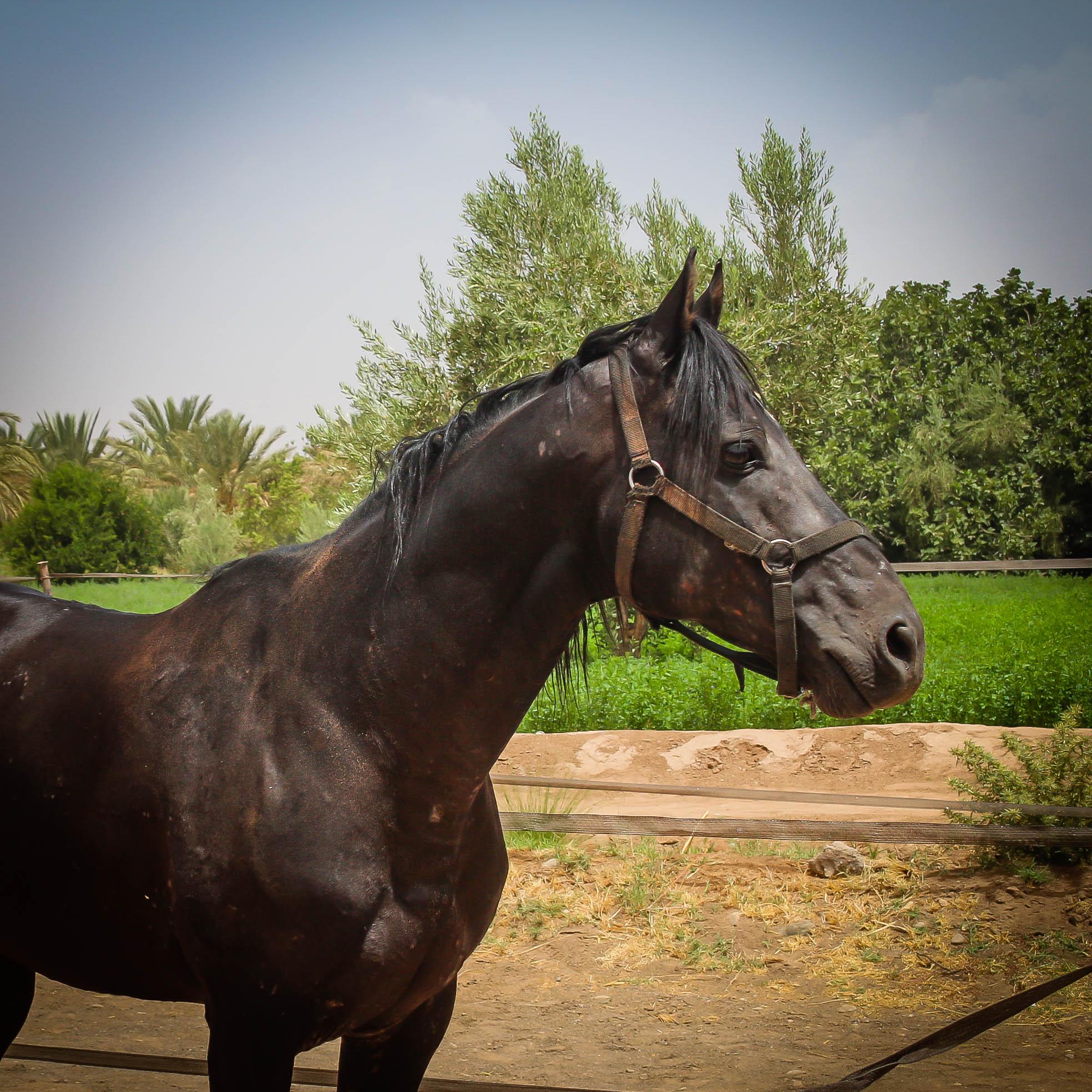 Tag, 10ans, entier pour des cavaliers confirmés, porteur et chevaux de tête.