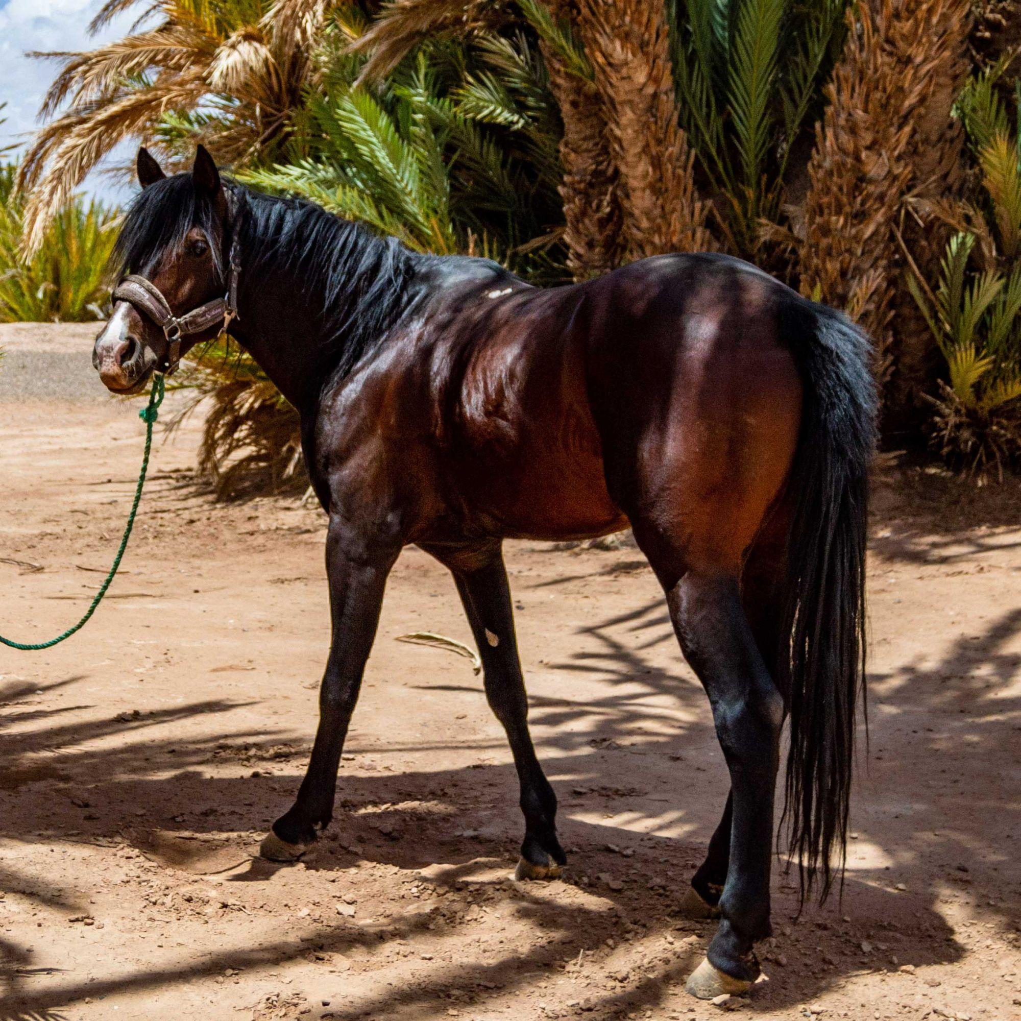 Moonlight, 6ans, entier pour des cavaliers moyen et chevaux de tête.